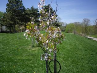 cedarvale-cherry-blossoms-022