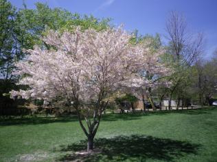 cedarvale-cherry-blossoms-023