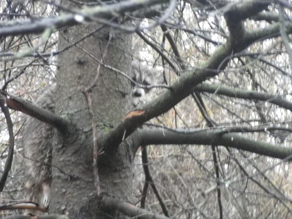 Cedarvale raccoon 304
