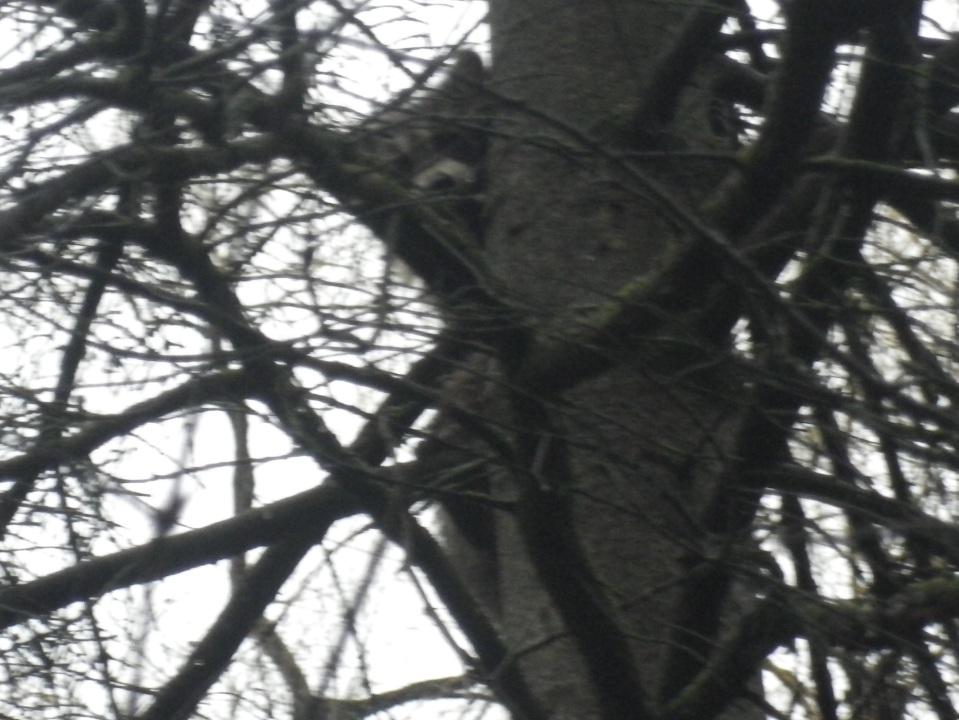 Cedarvale raccoon 305