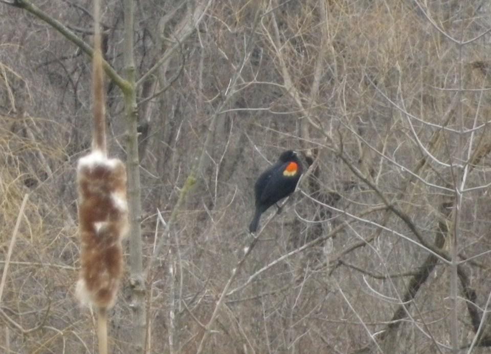 Cedarvale Red-winged blackbird 001