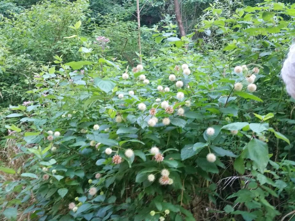 Cedarvale flower walk July 7