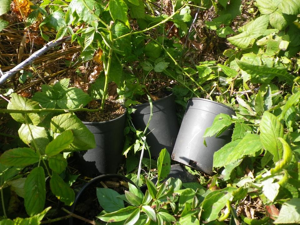 Cedarvale planting Sept. 17 002