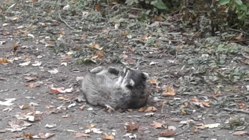 Cedarvale raccoon Nordheimer 9th Oct 20171008_170017