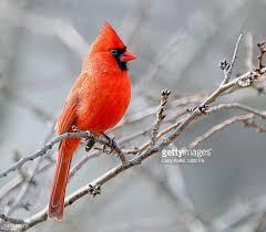 Birds Cardinal