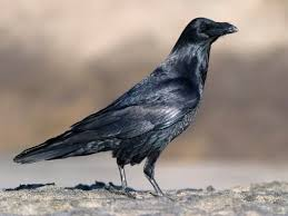 Birds Raven