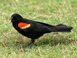 Birds Red-winged blackbird