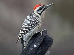 Birds Woodpecker, hairy