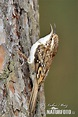 Birds Brown Creeper