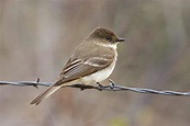 Birds Eastern Phoebe