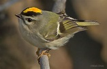 Birds Golden-crowned Kinglet