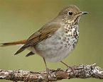 Birds Hermit Thrush